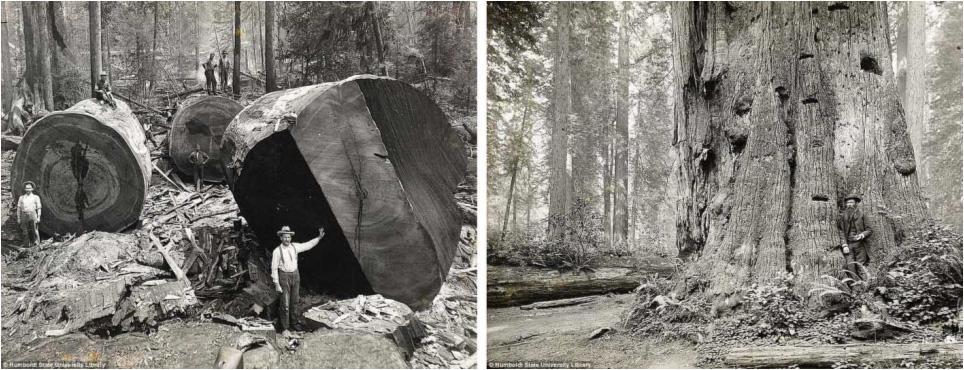 Kanadští dřevorubci na přelomu 19. a 20. století. Tloušťka kmenů, 6 metrů a stáří stromů 1500 let!